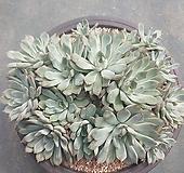 황홀한연꽃 자연|Echeveria pulidonis