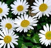 꽃이 예쁜 갯국화|