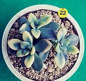 ,22석연화금|Pachyveria Pachyphytodies