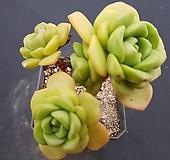 릴리패드0435|Aeonium LilyPad