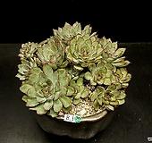 황홀한연꽃-12두(8.1)|Echeveria pulidonis