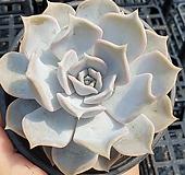 릴리시나|Echeveria lilacina