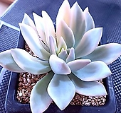 오팔리나백금846|Graptoveria Opalina