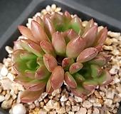 59.핑클루비 Sedeveria pink rubby