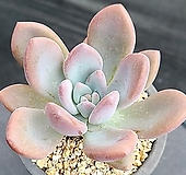 오팔리나 1409|Graptoveria Opalina