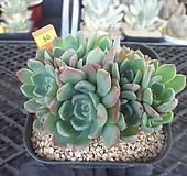 나나후크미니8-50 Echeveria nanahukumini