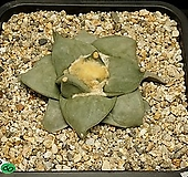 Ariocarpus retusus(암목단-실생8.2)|