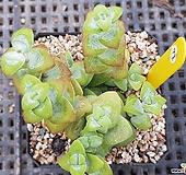 원종애성 Crassula rupestris