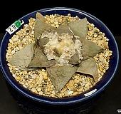 Ariocarpus retusus cv.cauliflower(목단 컬리플라워-실생8.2)|