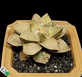 목단금-2두(접목/Ariocarpus v.retusus variegated-8.2)|