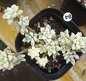 베라하긴스금84 Graptopetalum Mirinae