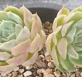 온슬로우|Echeveria cv Onslow
