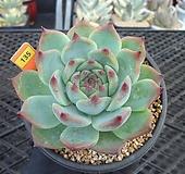 치와와8-135 Echeveria chihuahuaensis