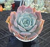 릴리시나hy8-179|Echeveria lilacina