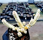 루페스트리금 68-286|Crassula perforata