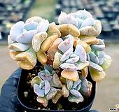 큐빅프로스티 15-111|Echeveria pulvinata Frosty