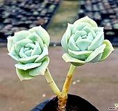 러블리로즈 15-126|Echeveria Lovely Rose
