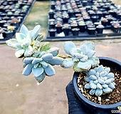 석연화금 15-220|Pachyveria Pachyphytodies