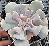큐빅프로스티|Echeveria pulvinata Frosty