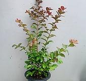 백일홍나무- 동일품배송- 높이 75|