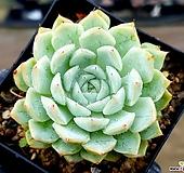 화이트자라고사(중) 15-399|Echeveria White Zaragosa