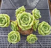 릴리패드(905)|Aeonium LilyPad