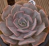 릴리시나,목대|Echeveria lilacina