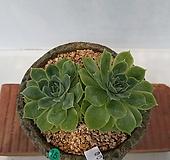 온슬로우-15|Echeveria cv Onslow