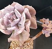162.큐빅프로스티|Echeveria pulvinata Frosty