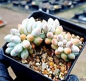 베이비핑거 16-141|Pachyphytum Machucae(baby finger)