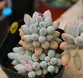 베이비핑거3213|Pachyphytum Machucae(baby finger)