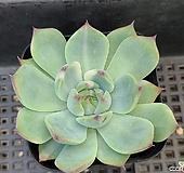 치와와금 Echeveria chihuahuaensis