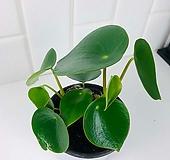 물방울 같은 모양 글로리아 페페로미아 물방울 페페로미아 공기정화식물 Echeveria Gloria