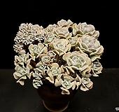 大/묵은 큐빅후로스티 군생+철화(8.4)|Echeveria pulvinata Frosty