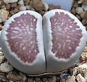 국화석 4|