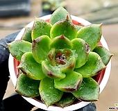 흑장미교배종 16-383 Echeveria Black Rose