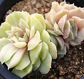 온슬로우금 군생 S7415|Echeveria cv Onslow