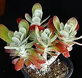대품 묵은둥이 미니당인금 적심군생 1|Kalanchoe thysifolia