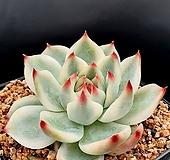 치와와복륜금 Echeveria chihuahuaensis