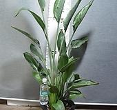 꽃피는극락조28번-3주합식-년 중 3~5회 꽃핌-개화주-동일품배송|