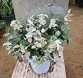 오색마삭줄중품(공기정화식물)|