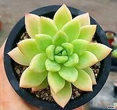 아메치스교배종 69-357|Graptopetalum amethystinum