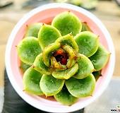 흑장미교배종 69-416 Echeveria Black Rose