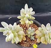 베이비핑거-77|Pachyphytum Machucae(baby finger)
