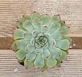 여제|Echeveria pulidonis