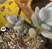 홍미인48|Pachyphytum ovefeum cv. momobijin