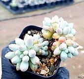 베이비핑거 17-329|Pachyphytum Machucae(baby finger)