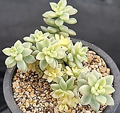 베라하긴스금 1519 Graptopetalum Mirinae