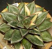 모노케로티스금(8.5)|Echeveria Monocerotis