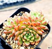 묵은핑클루비 17-397 Sedeveria pink rubby